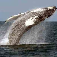 Whale Breaching Gloucester